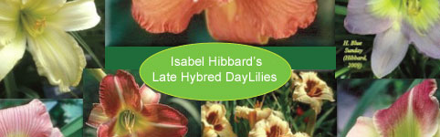 Isabel Hibbard Gardens: Late Season Day Lilies on Long Island
